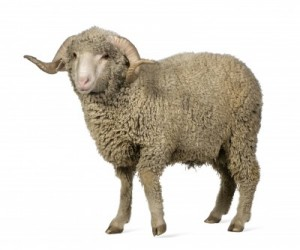 Circumcision and the Pesach lamb