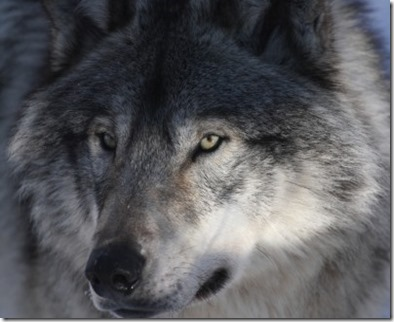 wolf_small