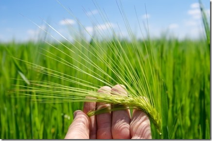barley_aviv_small