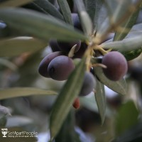 The olives are ready for harvest when Sukkot starts.