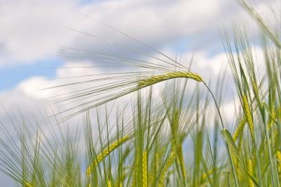 Aviv barley