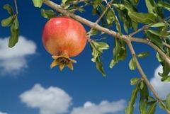 sukkot pomegranate Feast of Tabernacles Israel Ingathering of autumn harvest
