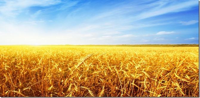 field of wheat_med