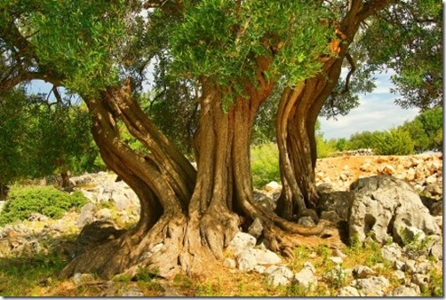 olive tree_small
