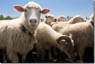 sheep1_small