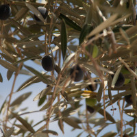 Olives in Jerusalem during Sukkot